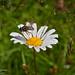 Blomsterflue på prestekrage