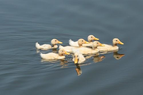Abandoned ducklings...
