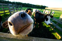 [Explored] Mooooh! (jeroen_bennink) Tags: grass amsterdam animal closeup geotagged nose cow jeroen farm alien like an bull whiskers farmville looks gras dieren bovine 86 dier 1022mm weiland koe countrylife neus beesten boerderij beest stier oostzaan bennink explored hettwiske canoneos400d 8192011 1982011