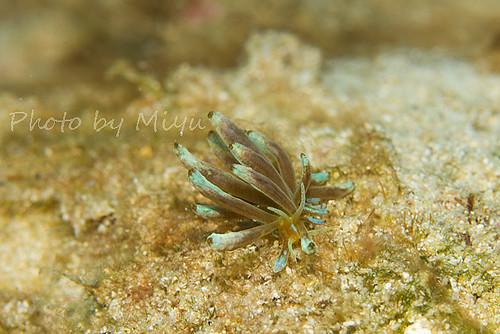 アカクセアニアウミウシ