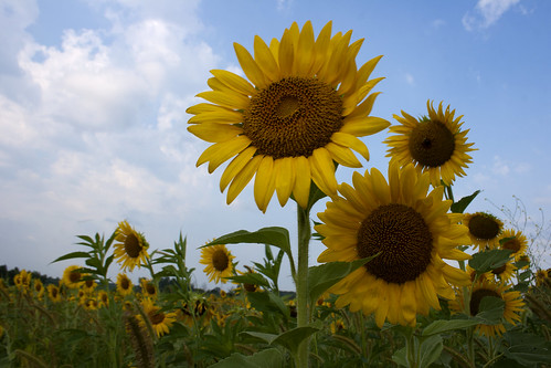 07222011JGW-BannerMarshNorthEastAccess-Sunflowers_MG_1259