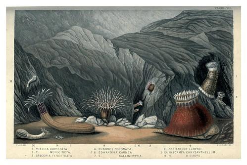 008-Actinologia Britannica… 1860- Philip Henry Gosse