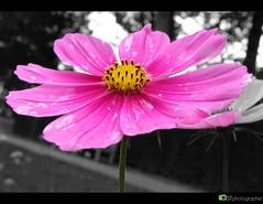 Pink Flower (ST Photographie) Tags: blackandwhite blume makro schloss dsseldorf garten hdr regen tropfen benrath lwenzahn pusteblume schwarzweis