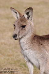 Portrait of a 'Roo (davo5052) Tags: portrait closeup kangaroo canberra act tidbinbilla australiancapitalterritory eastergrey