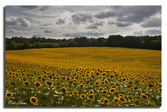 Sunflower meadow ......... (pete stone) Tags: sky france field yellow meadow overcast dordogne sunflowers skyandclouds canoneos5d