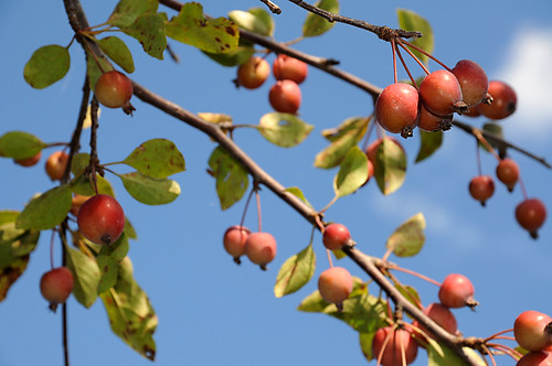 Day 222 - Crab Apple by Tim Bungert