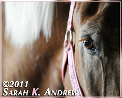 Real Men Wear Pink (Rock and Racehorses) Tags: pink sparkles belgian pow halter workhorse feedlot ska8631 pow2011
