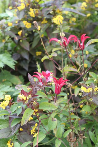 20110805_IMG_1531_red-clematis