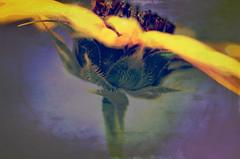 Dancer (Karen McQuilkin) Tags: summer flower macro dancer sunflower gardenisland shieldofexcellence awardtree karenandmc texturesabstact