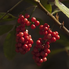 Red Berries (MiFleur...Thanks for visiting!) Tags: macro fruit berries redberries baies mifleurwwwmifleurdesigncom