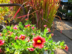 CALIBRACHOA CORAL BERRY PUNCH