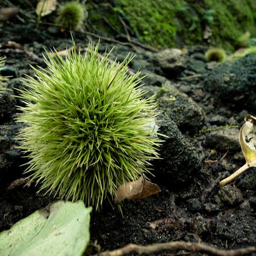 Wild Chestnut, Nokogiri Yama