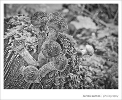 "Macro (Carlos ""Grury"" Santos) Tags: plants macro canon finland mushrooms helsinki bokeh 100mm forests blackwhitephotos grury"