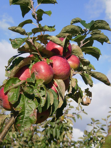 Apple tree 2011