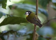 White-faced Robin (Greg Miles) Tags: australia queensland tregellasialeucops whitefacedrobin ironrangenationalpark