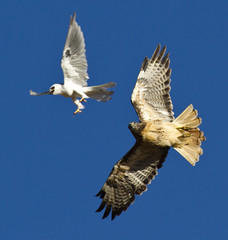 Red-tailed Hawk vs White-tailed Kite (Davor Desancic) Tags: park nature canon hawk 7d bayarea eastbay hayward garin ebparksok