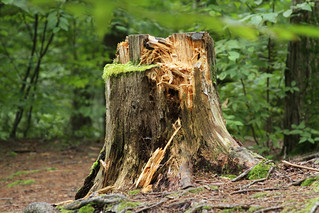 Dingman's Falls Tree Stump Bear Pawing