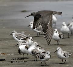 Wandering Tattler / Sanderlings (jsutton8) Tags: bird birds bif shorebird pillarpointharbor tattler wanderingtattler photocontesttnc11 dailynaturetnc11