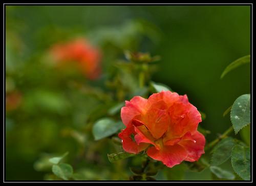 F_DSC5418 悠閒生活 Living Easy 玫瑰花 Rose 花 Flowers