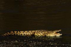 Nile Crocodile (santanu nandy) Tags: africa kenya masaimara nilecrocodile