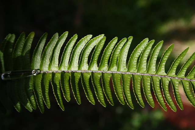 Fishbone Fern frond detail