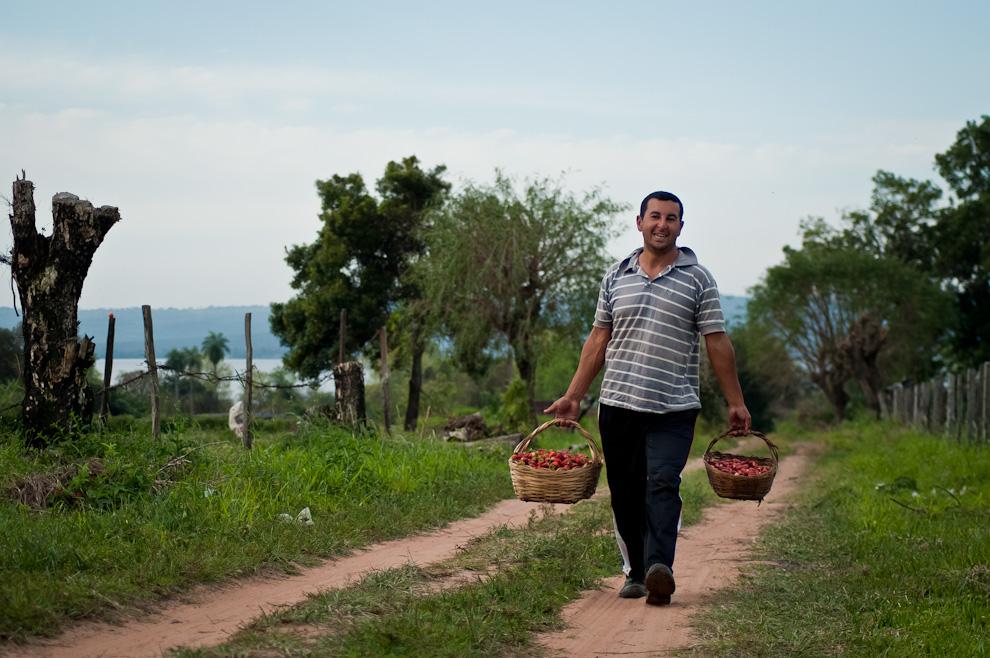 El productor Alicio Vera, sonríe mientras transporta las frutillas cosechadas en una tarde de sábado en una huerta de Estanzuela, Itauguá. (Elton Núñez)