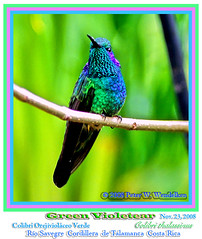 GREEN VIOLETEAR         (hummingbird) MALE Colibri thalassinus Close Up, Ro Savegre, Cordillera de Talamanca, COSTA RICA. Photo by Peter Wendelken (Neotropical Pete) Tags: costarica hummingbird colibri greenvioletear colibrithalassinus savegre sangerardodedota costaricabirds cordilleradetalamanca costaricahummingbirds peterwendelken greenvioletearphoto greenvioletearmale costaricaphoto fotodelcolibrorejiviolceo rosavegre hummingbirdphotobypeterwendelken hummingbirdsofsavegre centralamericahummingbirds