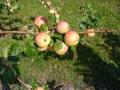 M.7 EMLA Tree with Fruit