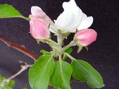 P.2 Flower Cluster
