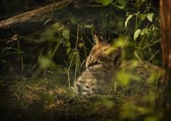 Serval (Blitzknips) Tags: serval tiere tierpark tierparkberlin wildcatworld zoo katze flickrbigcats cat animals bigcat mygearandme felidae tier animal raubtier predator kätzchen kitten spotted