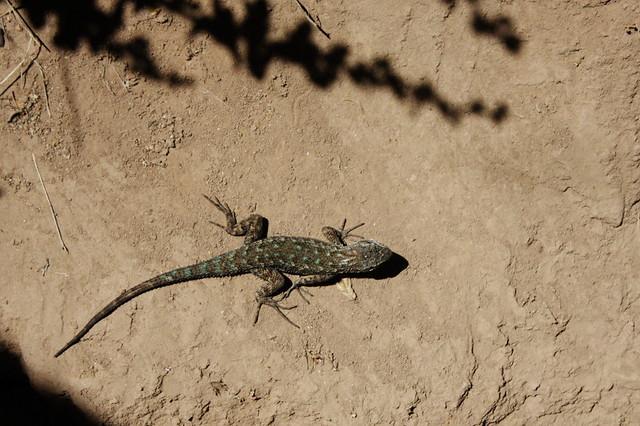 turquoise lizard