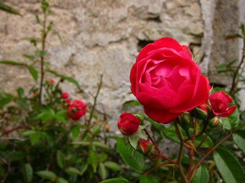 French Red Rose by Danalynn C