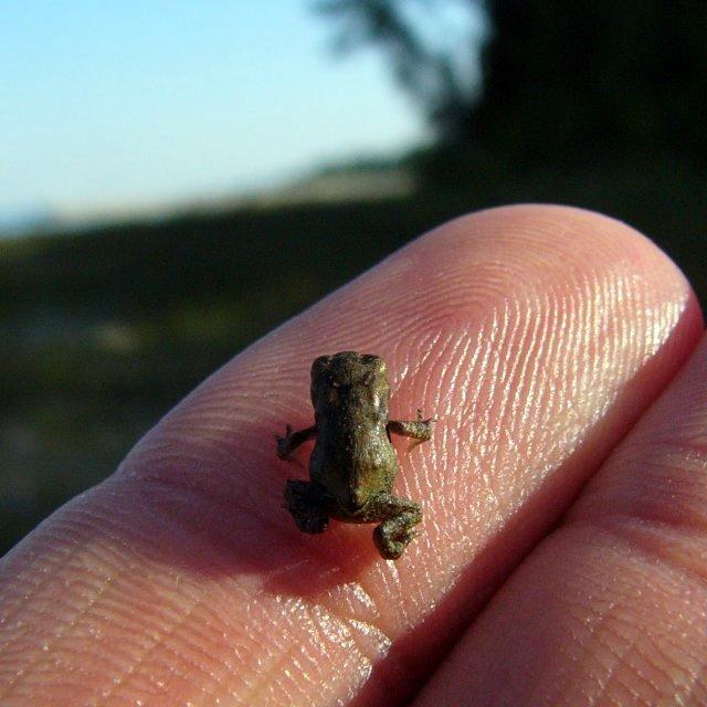 070702_tiny_frog