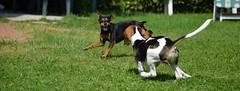 Sun & lilli [escape] (alfio.biz) Tags: dog sun beagle dogs cane puppy pinscher cucciolo lilli cani pincher