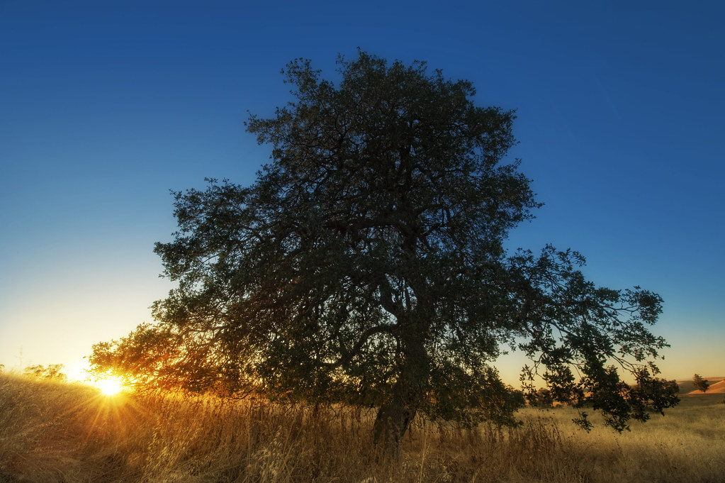 Quercus agrifolia at sunset, Arastradero Open Space Preserve