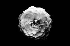 Filtering the beauty 1 [ R. bourboniana Boule de Neige ] (dClaudio [homofugit]) Tags: bw rose nikon chinensis d90 bouledeneige blackwhitephotos mygearandme mygearandmepremium rbourboniana