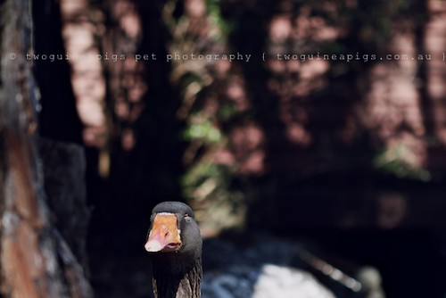 Hello, goose portrait by twoguineapigs pet photography | bird photography