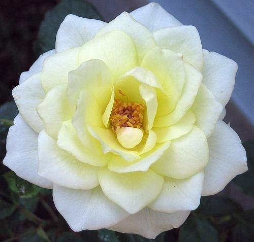 Floribunda Rose Moondance, Day Two. by Leenechan