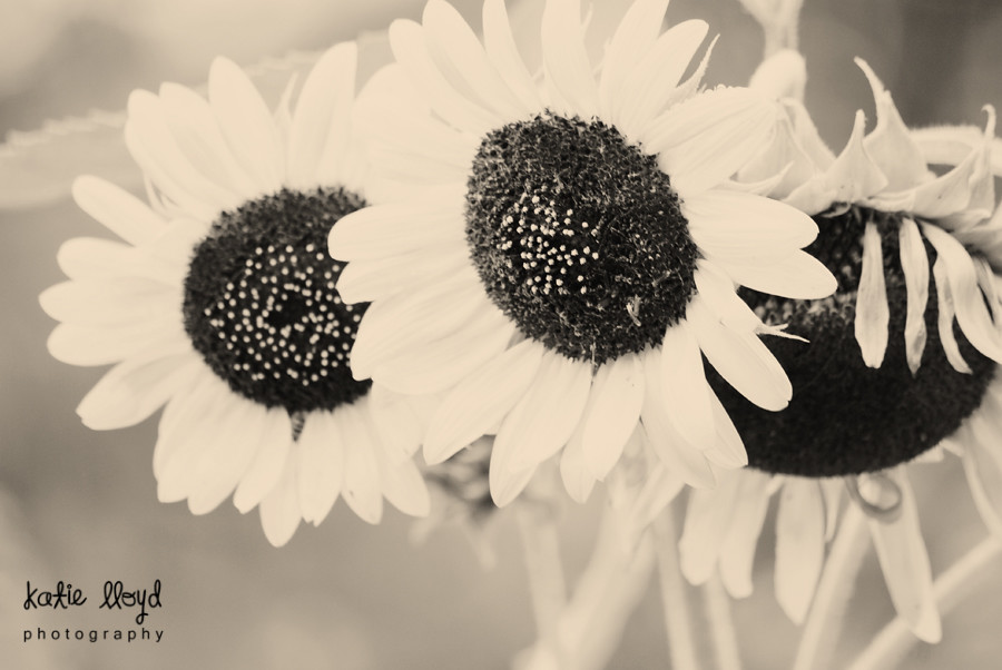 sunflowers-bw