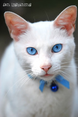 Blue Eyes (Sen Lightning) Tags: blue white japan branco azul cat nikon sigma gato nippon neko japo whitecat nihon japao d60 150mm nikond60 sigma150mm gatobranco