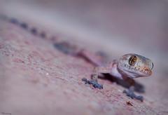 Hey you! (M@@nʎ) Tags: pink macro eyes dof pentax sigma pinkfloyd lizard gradient shallow 105 staring k100d