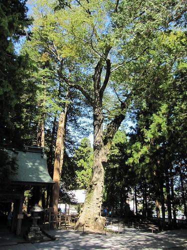 樹齢1200年のケヤキ/諏訪大社上社本宮 by Poran111