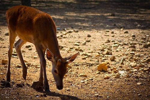 Bambi by Carlos_JG