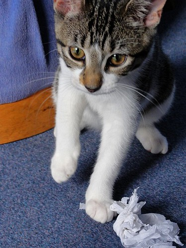 Kes the kitten kills a tissue