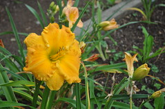 Fraser Valley Pulse Spotlight - Erikson Daylily Gardens
