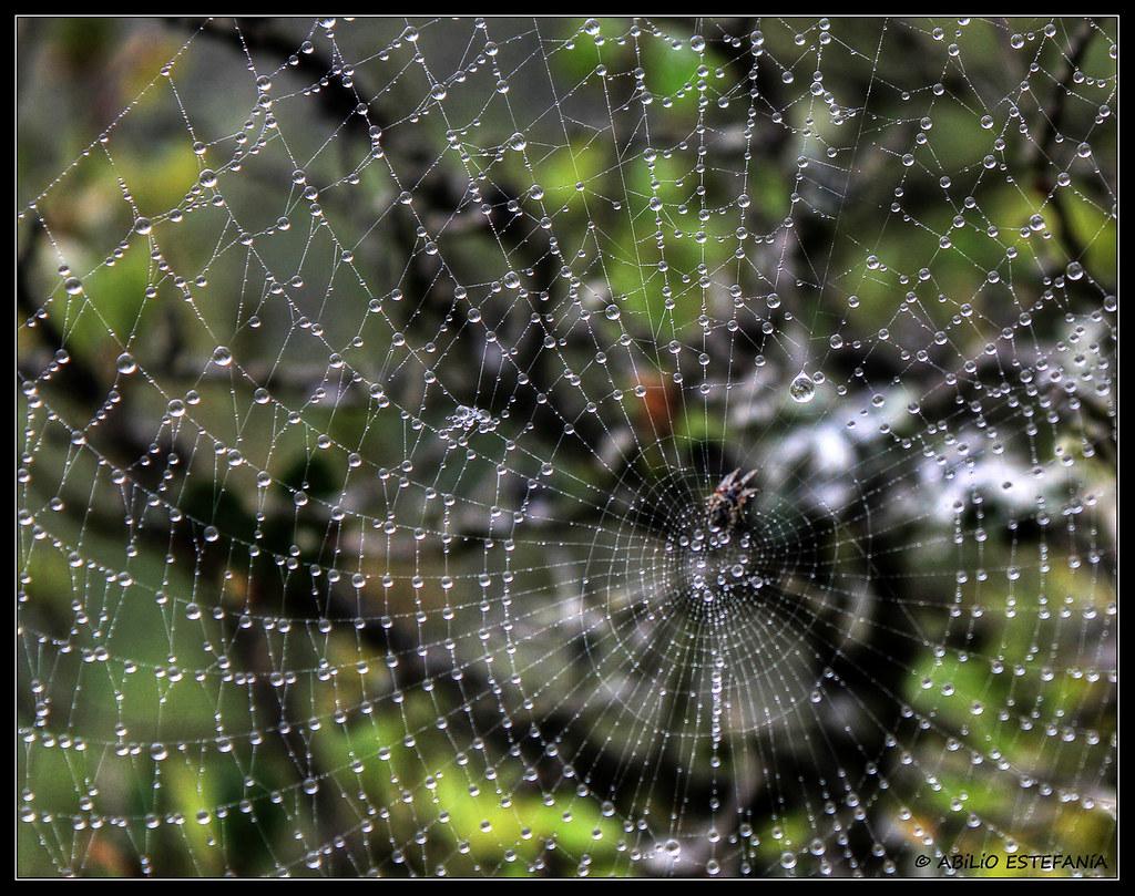 Perlitas de araña