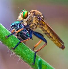 Robber Fly, Cophinopoda chinenensis, Feasting On Scarab Beetle (aeschylus18917) Tags: danielruyle aeschylus18917 danruyle druyle ダニエルルール ダニエル ルール japan 日本 nikon d700 nature 200400mmf40gvr 200400mmf4gvr saitama saitamaprefecture 埼玉県 saitamaken hannō 飯能市 koma predation macro insect fly robberfly ムシヒキアブ insecta diptera brachycera asilomorpha asiloidea asilidae apocleinae バエ 200400mm pxt cophinopodachinenensis アオメアブ pxxtd