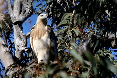 Sea-Eagle.  White-bellied - immature. (CampaspeBirdo) Tags: immature australianbirds whitebelliedseaeagle haliaeetusleucogaster wonboynnsw