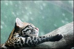 Morning Stretch (zenseas : )) Tags: seattle washington stretch evita ocelot woodlandparkzoo morningstretch wpz leoparduspardalis
