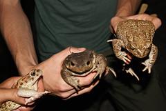 A. mauritanicus y B. bufo (David Herrero Glez.) Tags: verde frog toad sapo amphibians comun rana bufo viridis anfibio mauritanicus anuros anures